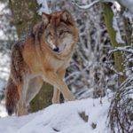 Сезон охоты на волков в Архангельской области открыт до 29 февраля