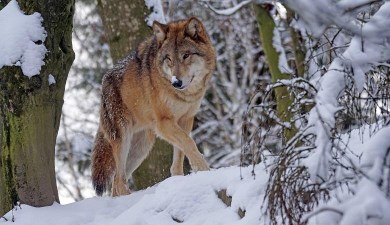 Архангельские ученые объяснили, по какой причине волки выходят в населенные пункты Поморья