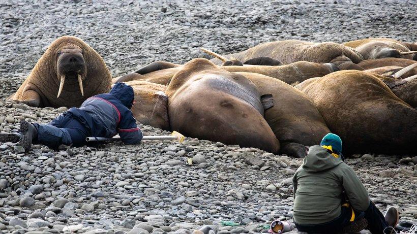 В национальном парке «Русская Арктика» биологи опробовали щадящие методы изучения белого медведя и атлантического моржа