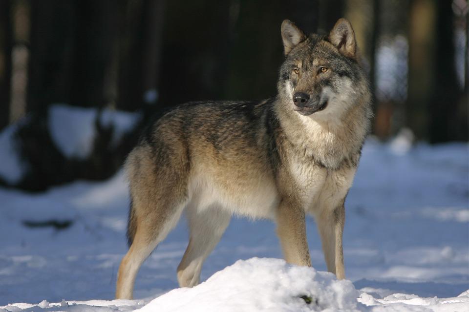 Волки снова на улицах Виноградовского района