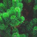 Минлеспромрегиона: заготовку новогодних ёлок необходимо проводить по всем правилам