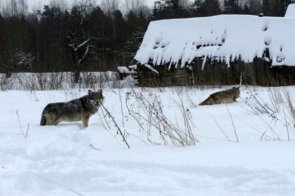 Усилено патрулирование территорий, где замечены волки