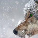 Волки выходят к домам и убивают собак. Проблему появления диких животных в населённых пунктах решают в областном Минприроды