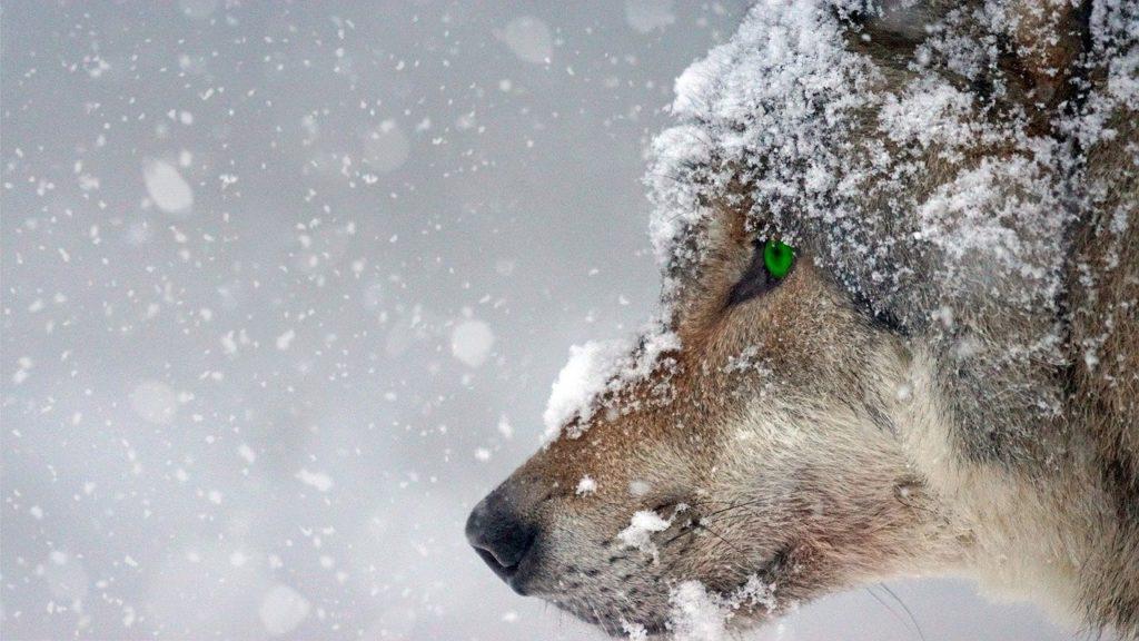 За неделю в Архангельской области добыто 32 волка