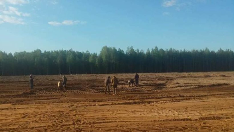 На территории Шиеса начали высаживать сосны