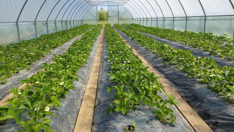 Аграрии Поморья увеличивают плантации ягодных культур