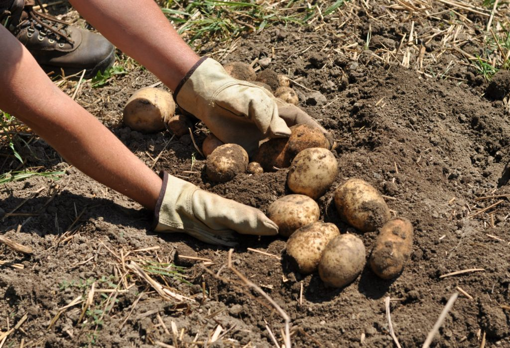 В сельхозпредприятиях Виноградовского района идет уборка урожая